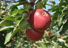 Gyldensteen æbler